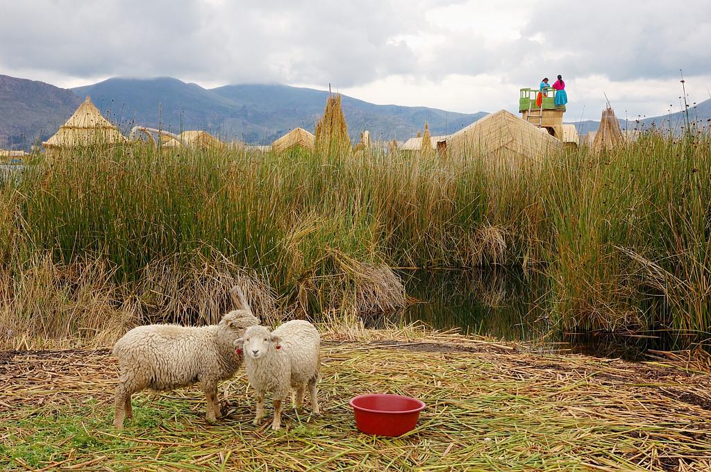 На островах живет и скот