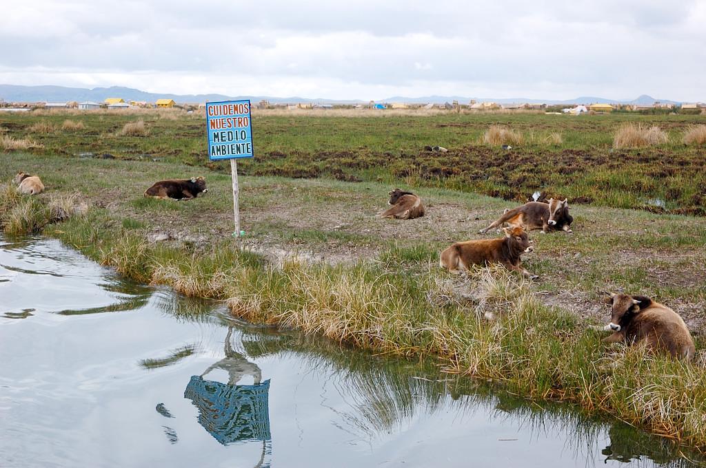 Опять повсюду лежат коровы
