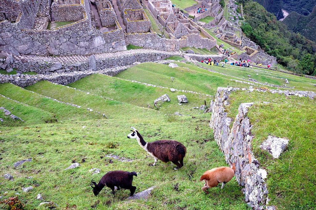 Пасущиеся ламы