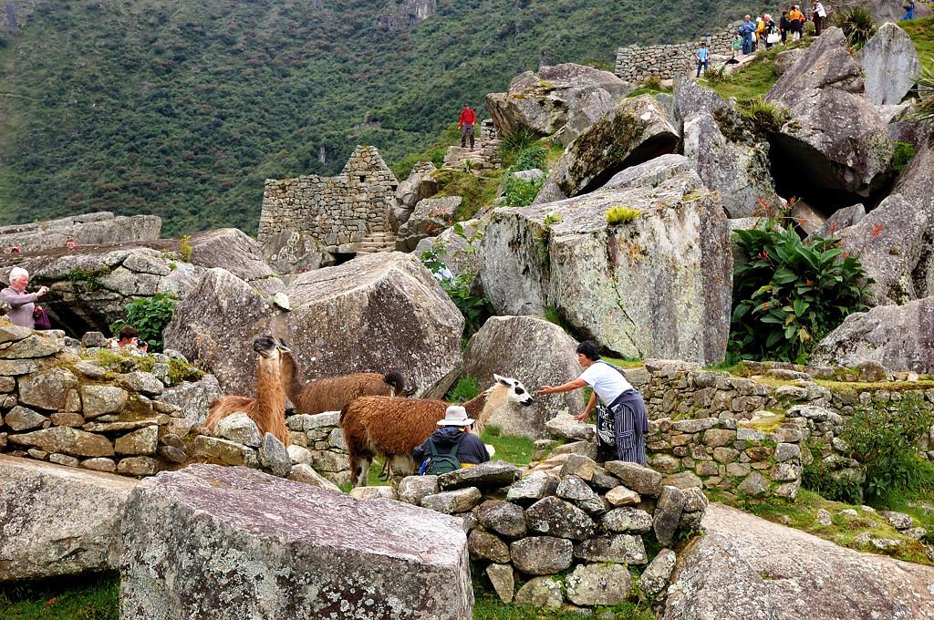 Туристы общаются с ламами на развалинах Мачу-Пикчу