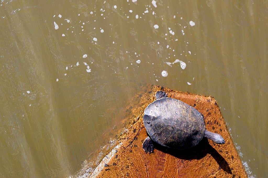 Водная черепашка вылезла из реки и греется на солнышке