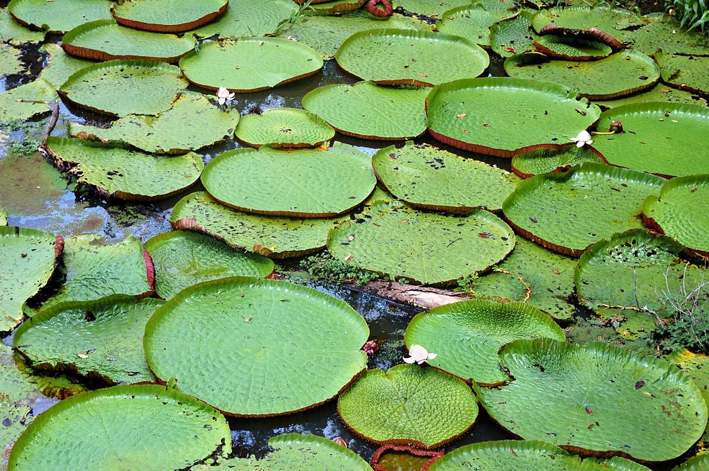 Знаменитые кувшинки Victoria Amazonica