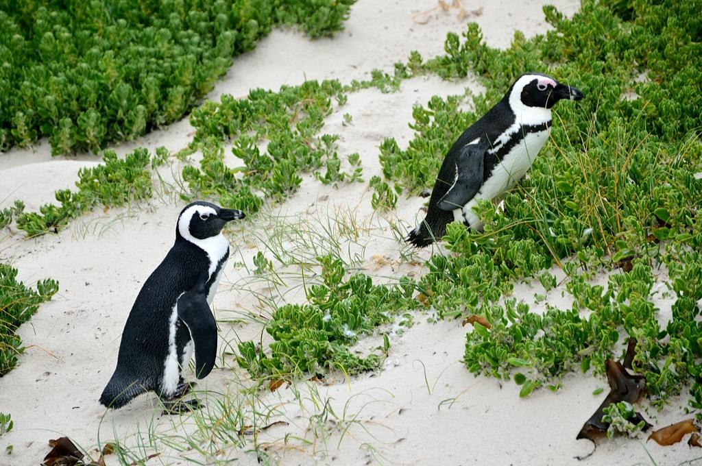 Пингвины в Саймонстауне