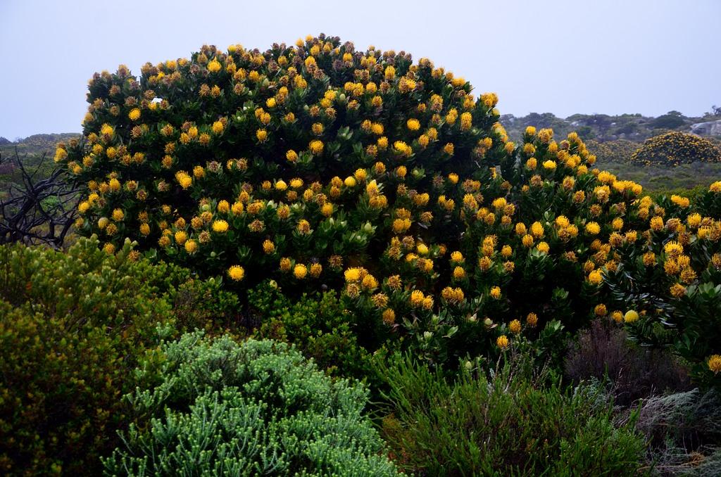 Повсюду здесь растут вот такие кусты с характерными желтыми цветами