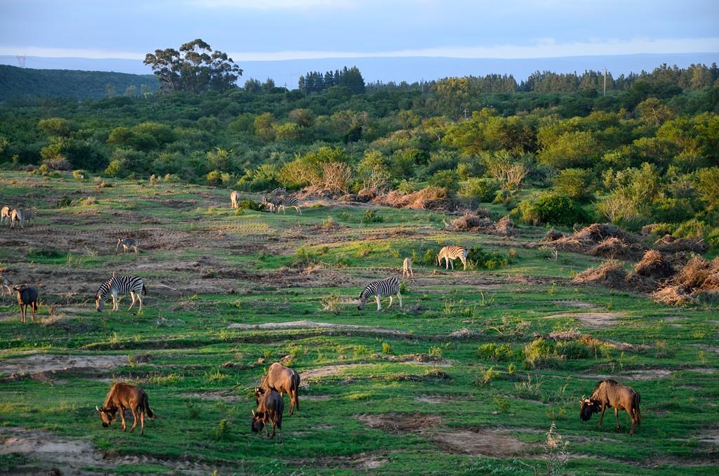 Вечерело. На поляне паслись зебры и антилопы-гну