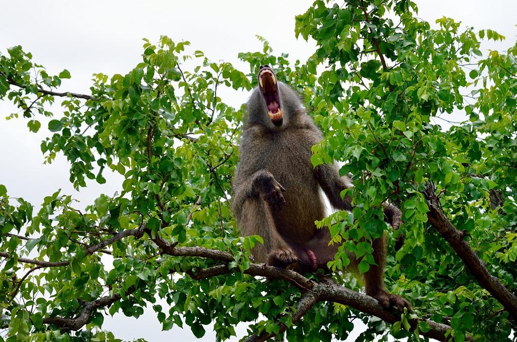 Бабуин зевает. Пасть как у саблезубого тигра