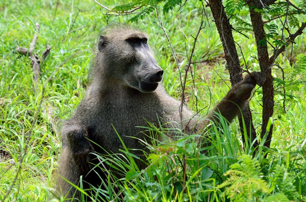 Мирный бабуин