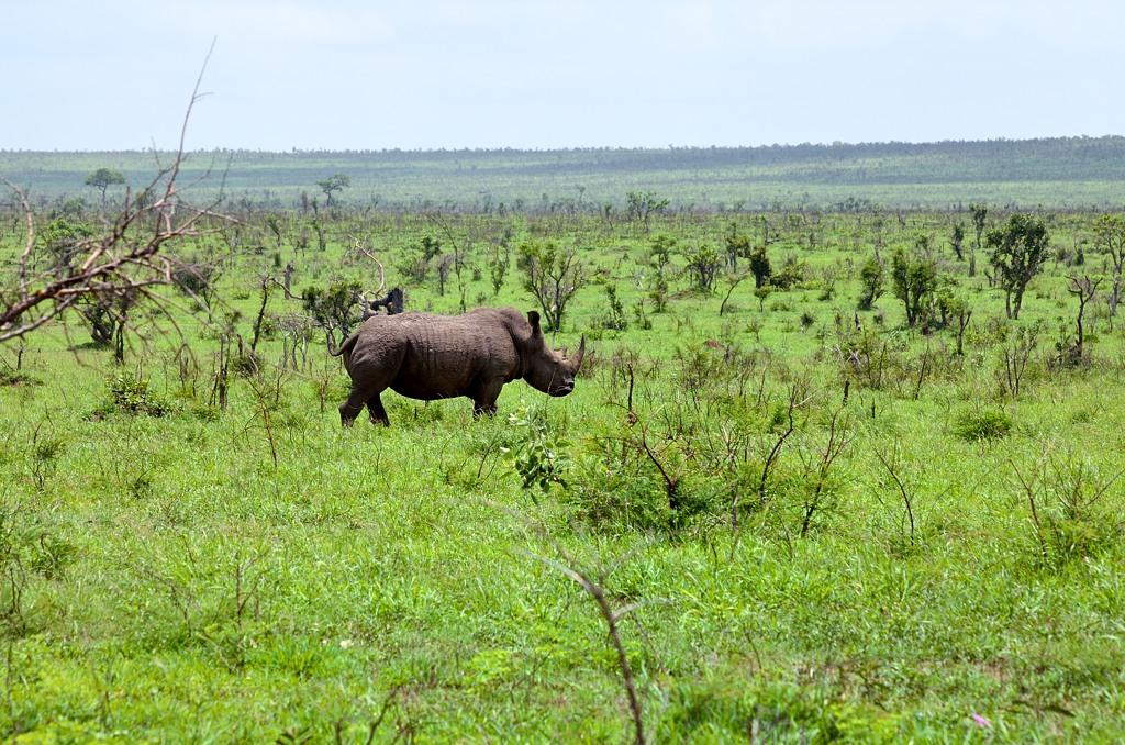 Носорог. По-научному - риноцерус