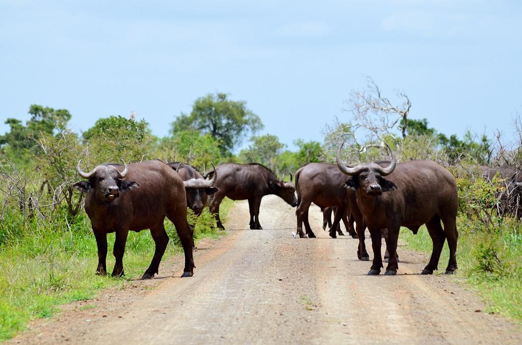 На этот раз дорогу перегородило стадо буйволов, пришлось ждать, пока сойдут с дороги
