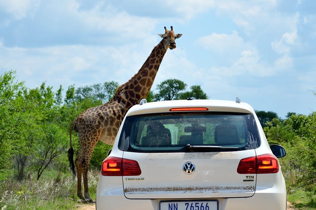 Тут впереди неожиданно возник жираф и стал по своему обыкновению тупить в нашу сторону :)