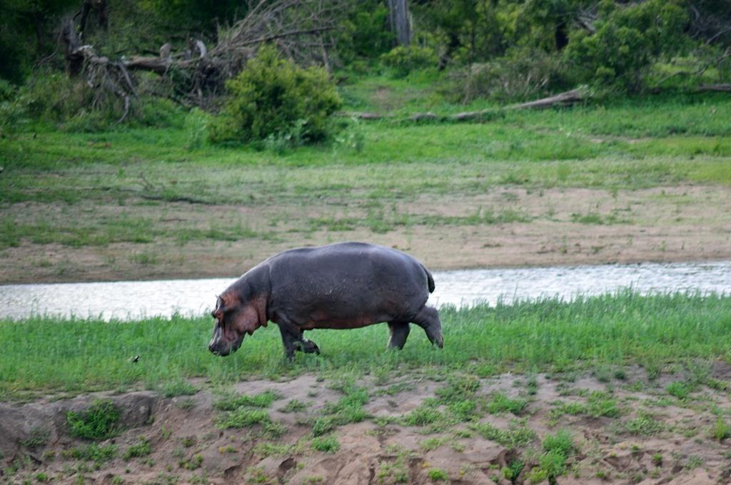 Бегемоты на суше довольно забавны