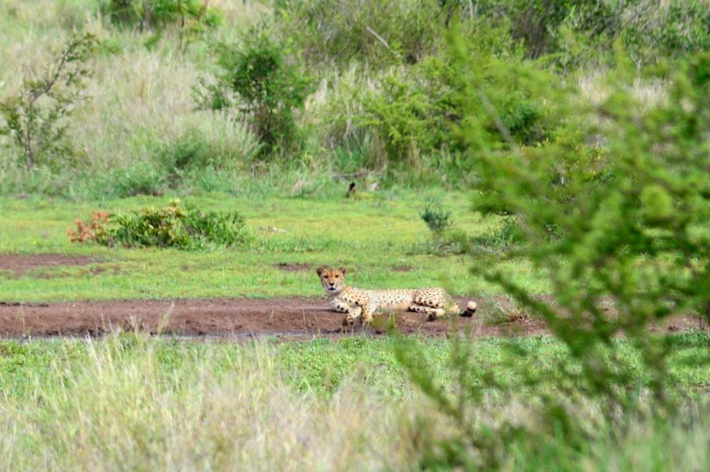 Гепард. А мы сначала думали, что это леопард :)