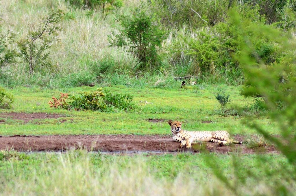 Леопард, на деле оказавшийся гепардом