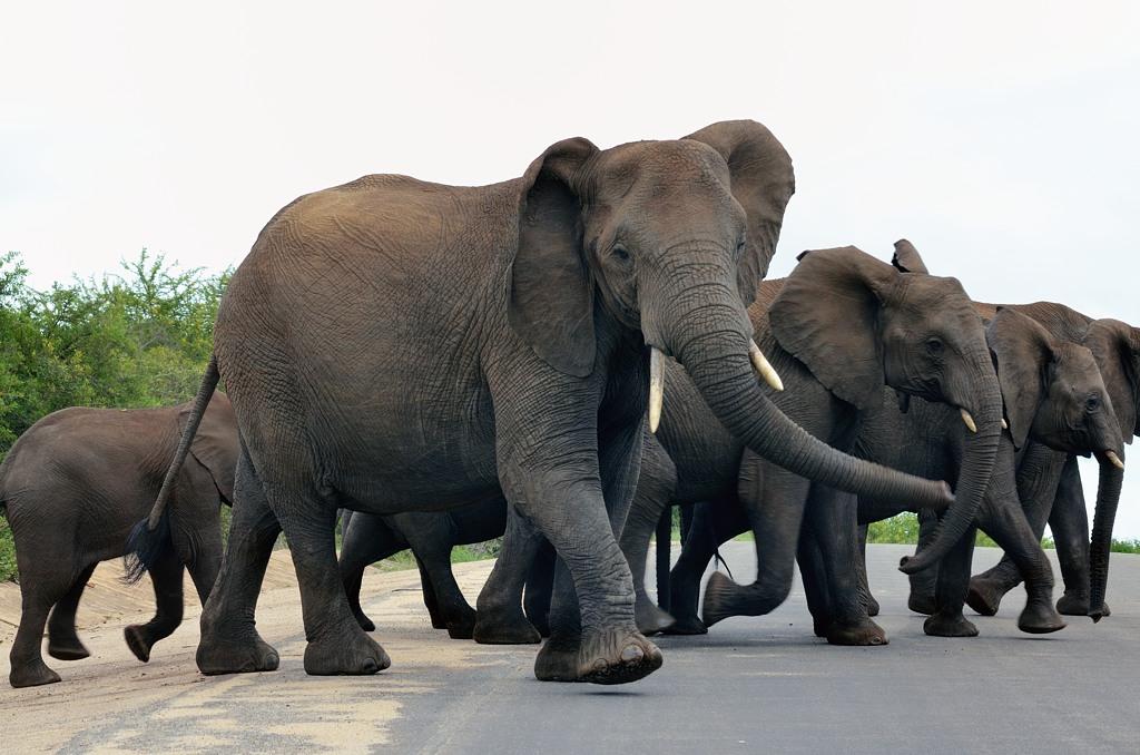 Тут неожиданно дорогу перешло стадо слонов