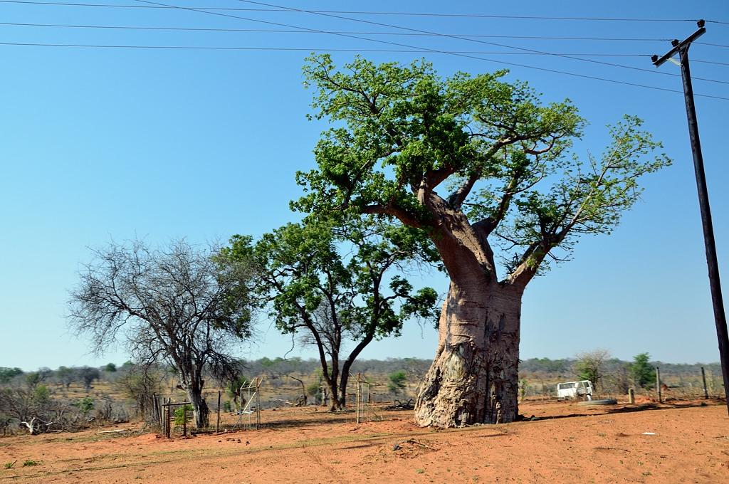 Баобаб. Едем на границу с Ботсваной