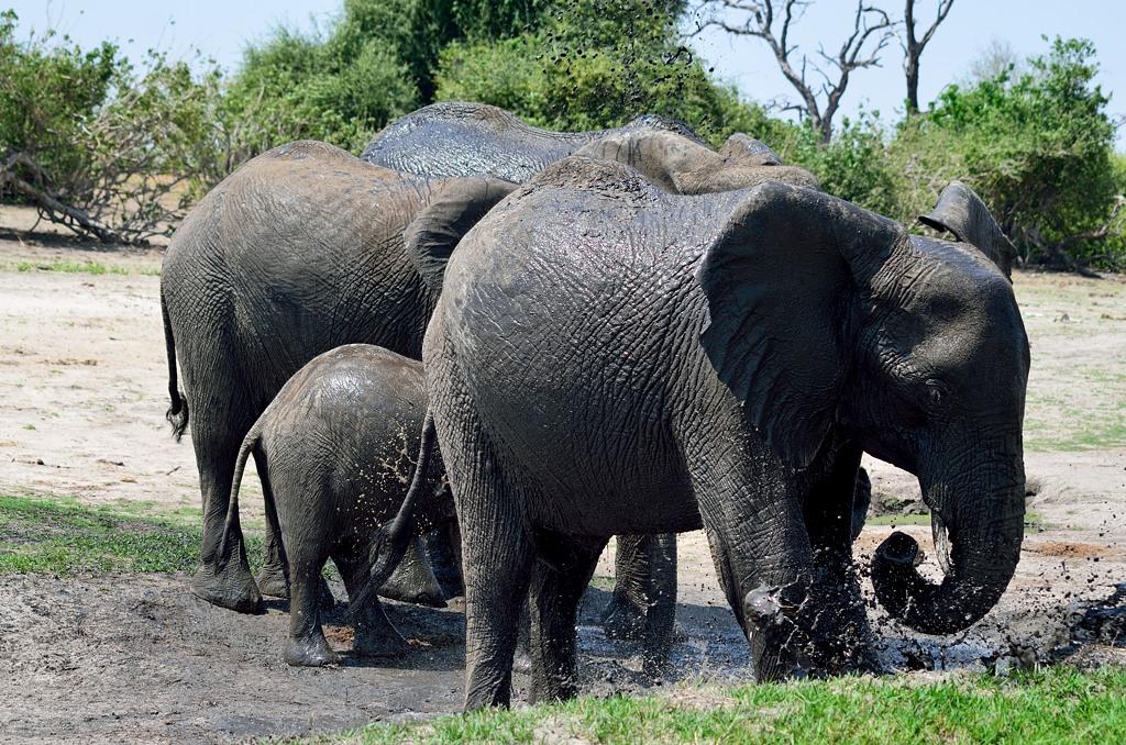 Слоны купаются в грязи