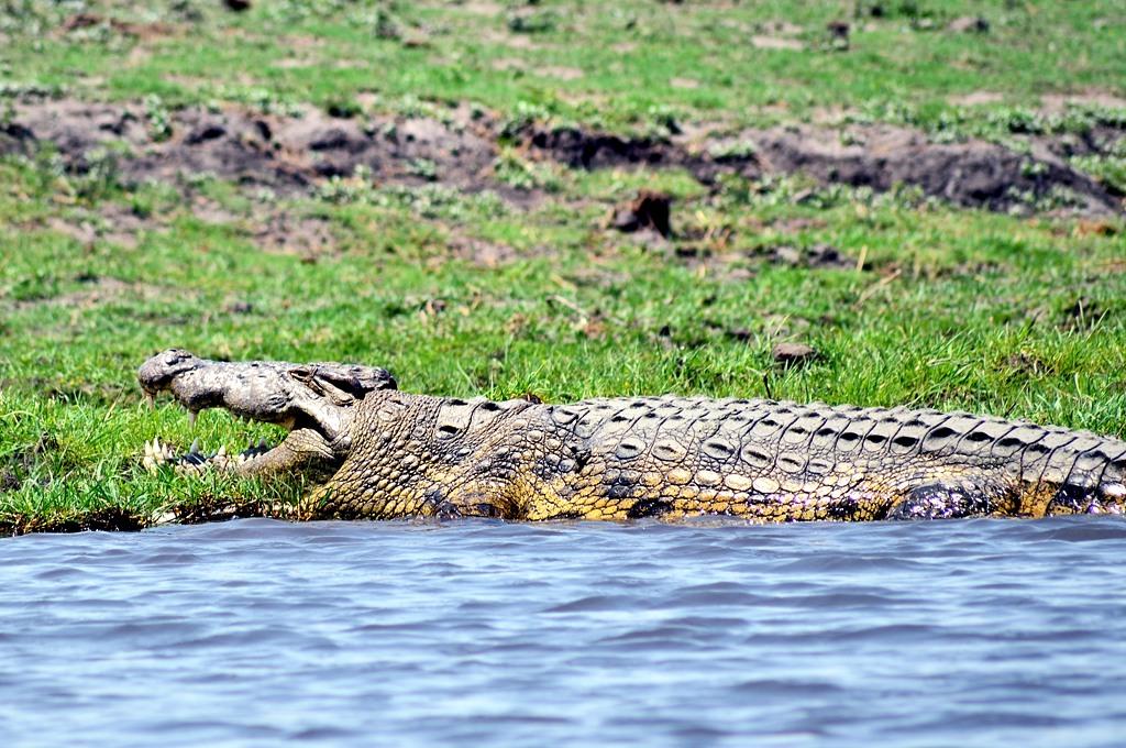 Снова крокодил