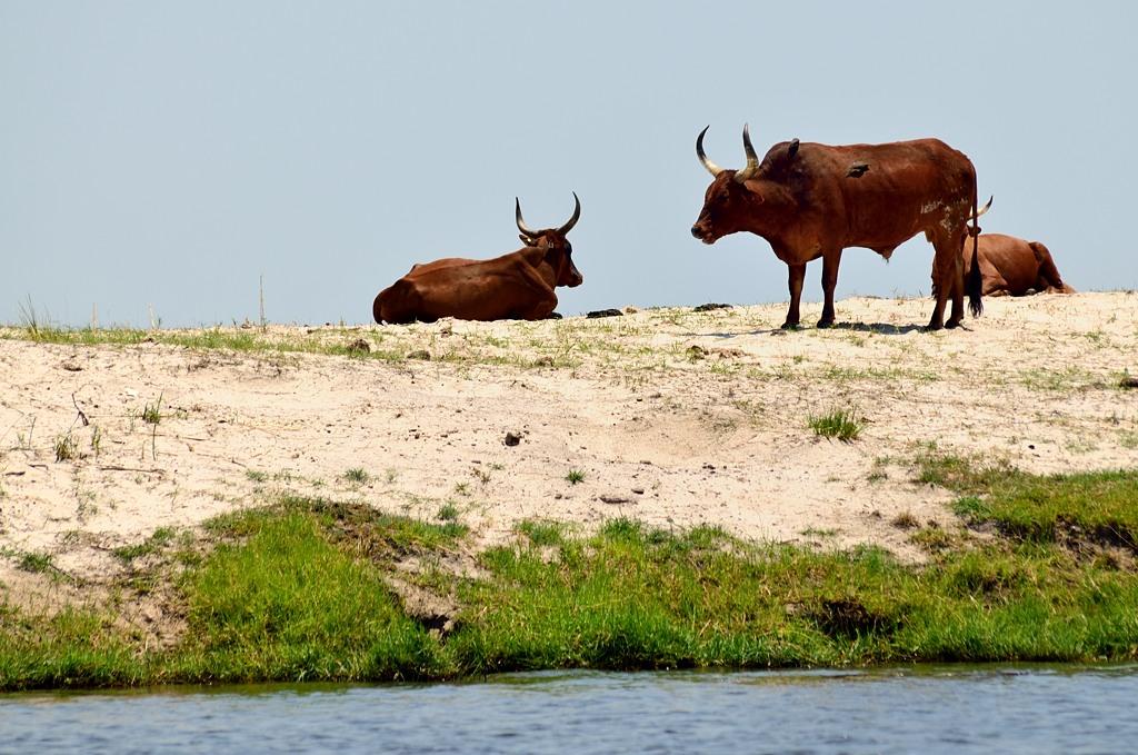 Намибийские коровы (это территория Намибии)