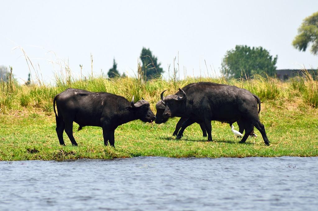 Намибийские буйволы (это территория Намибии)