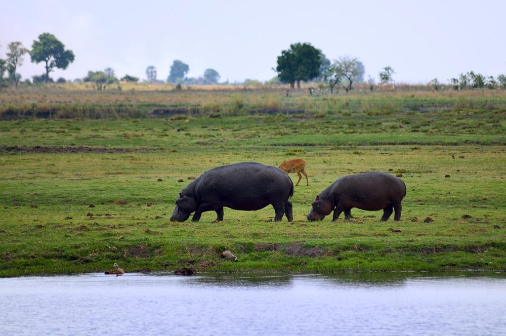 Пасущиеся бегемоты
