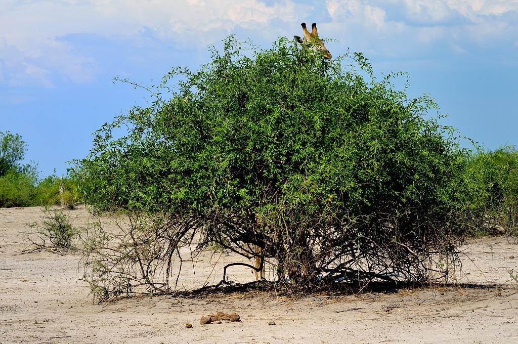 А ну, найди жирафа! :)