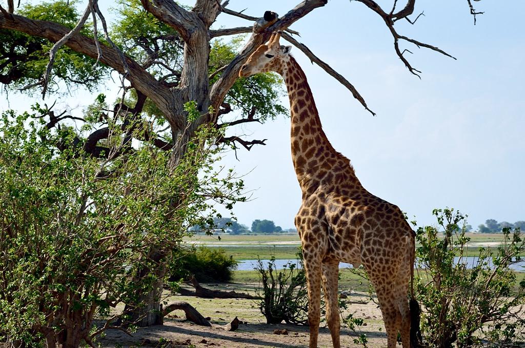 Еще жираф