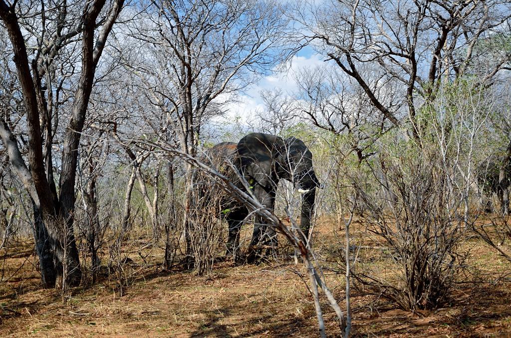 В кустах бродит слон