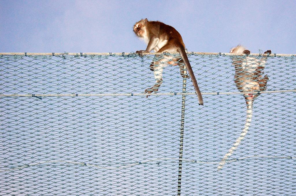 Пешеходный переход через дорогу для обезьян