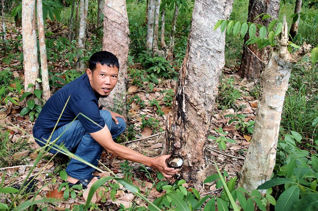 Наш таксист демонстрирует нам rubber-tree (видимо та самая гевея, с которой пошел каучук)