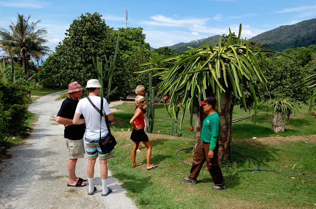 На ферме тропических фруктов. Вот так растет дрэгонфрут