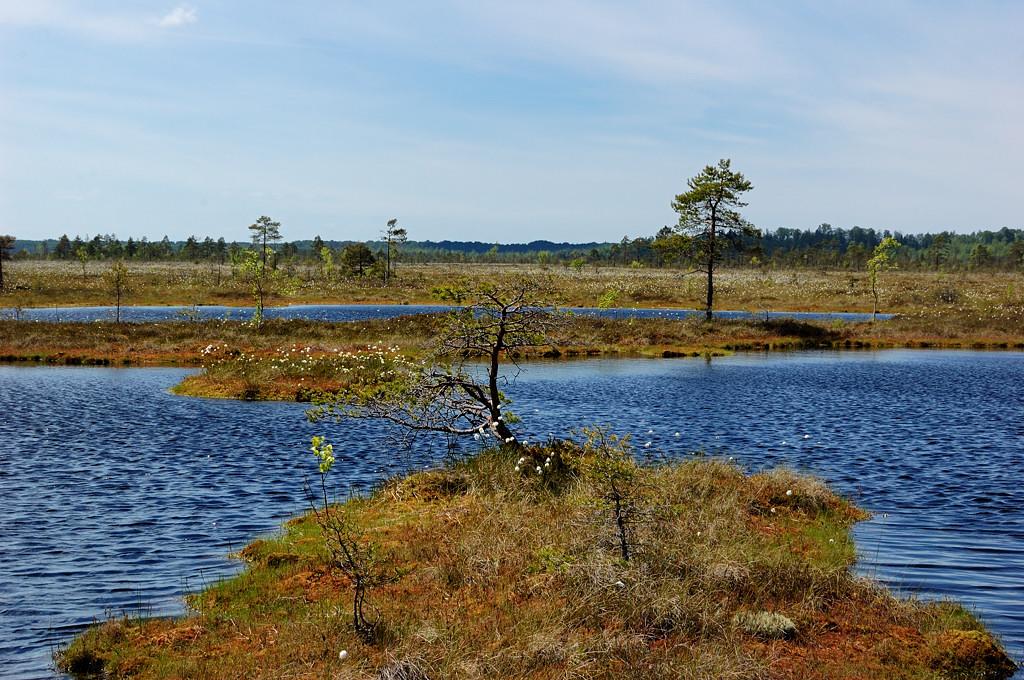 ...на болотных озерах (деревьев по...