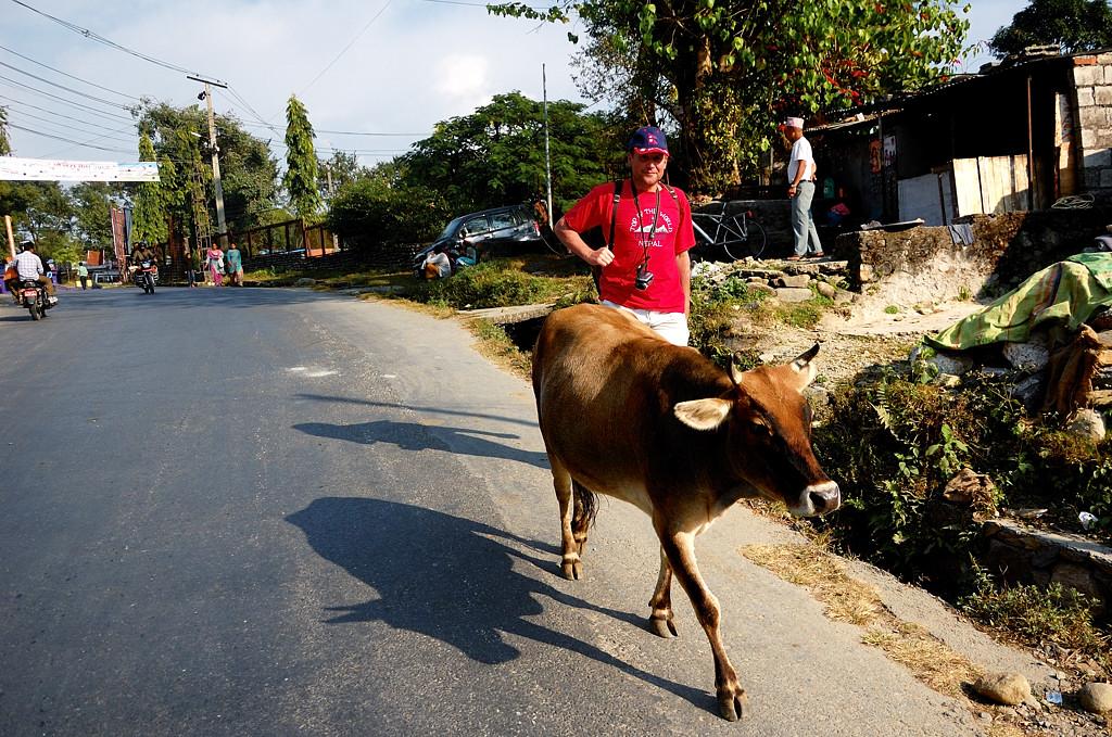 По Покхаре ходят коровы
