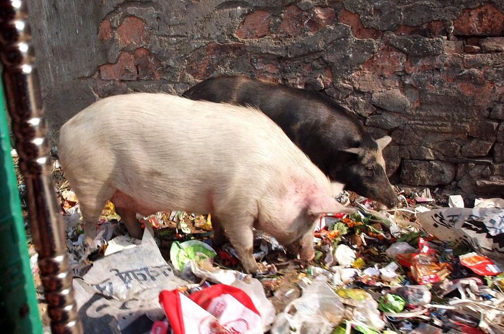 Джайпурские свиньи роются в мусоре © С.С.