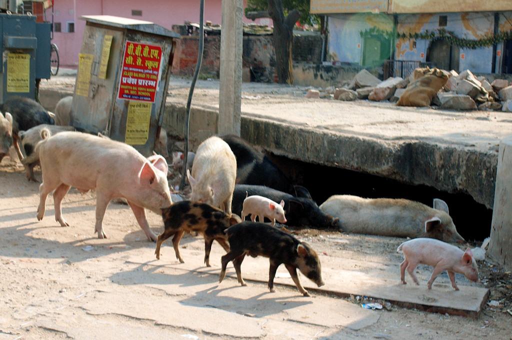 Джайпур - самый свинский город. В прямом смысле слова :) © С.С.