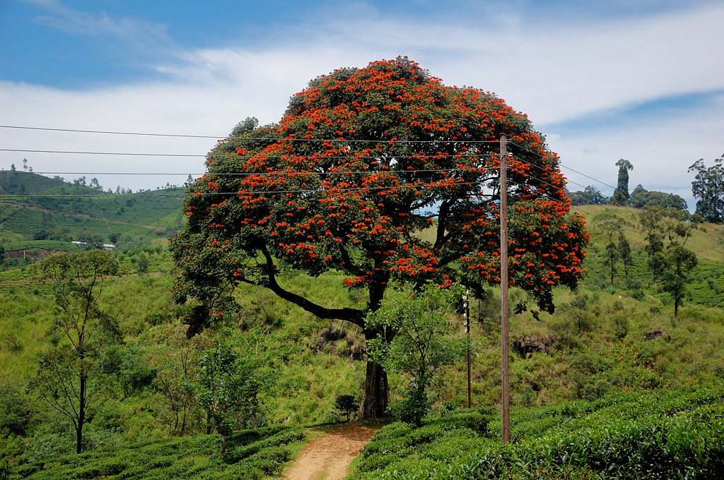 Дерево с красными цветками