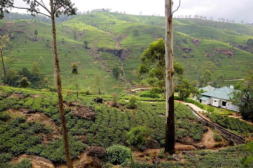 Чайны плантации