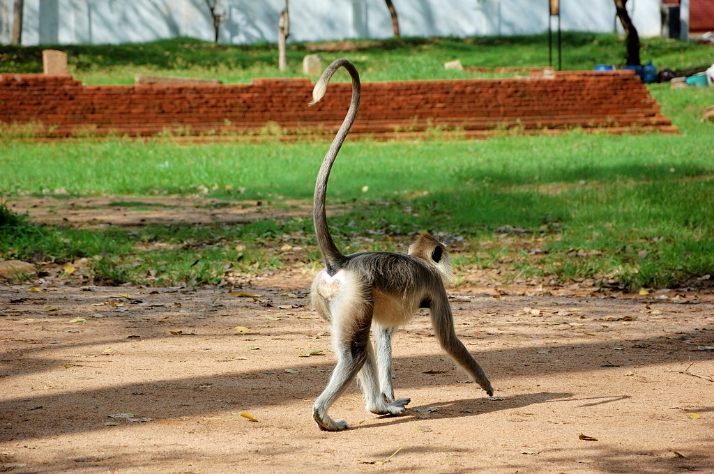 Тут обезьяны другого вида