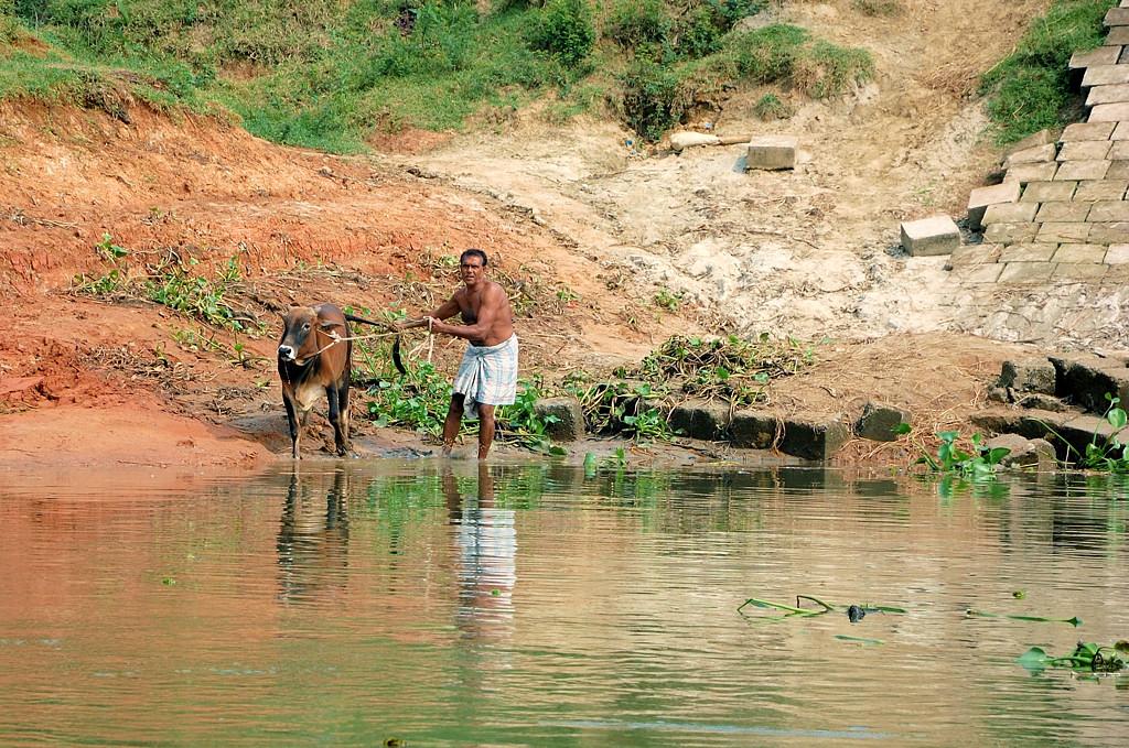 Мужик купает корову