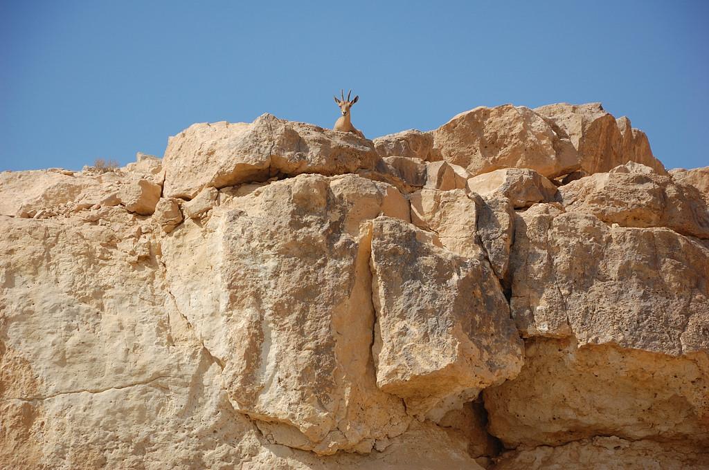 Нубийские горные козлы
