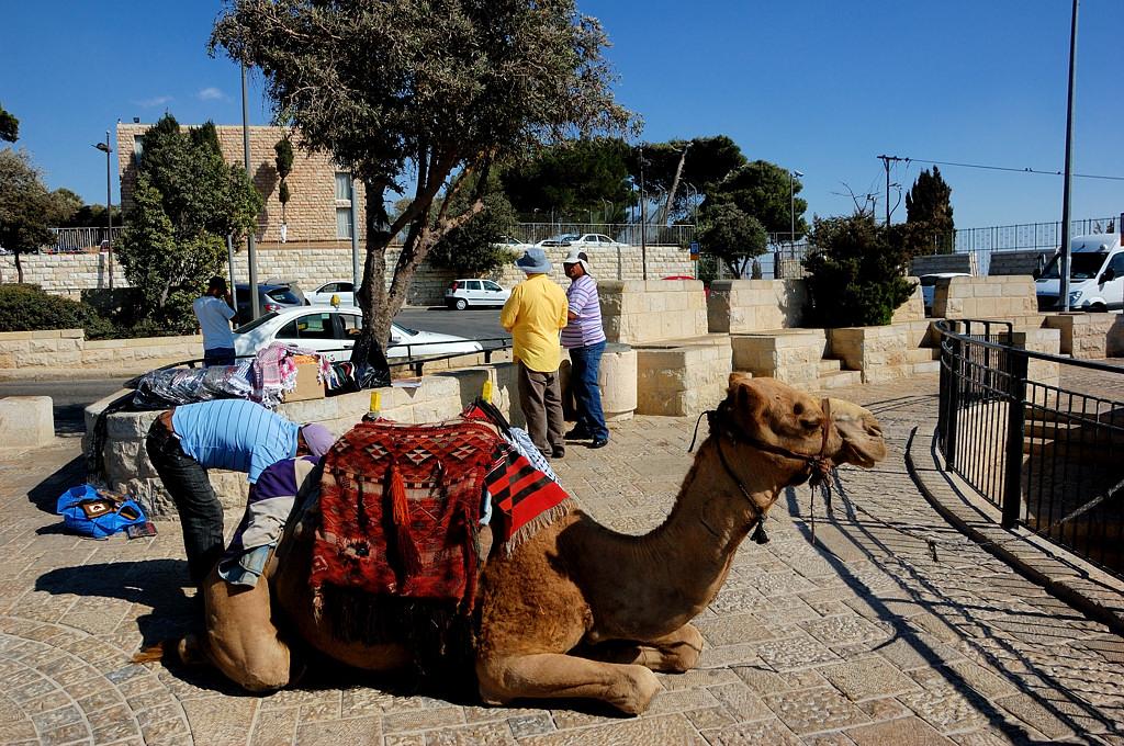 Верблюд на Масличной горе