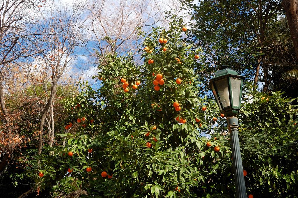 Тут в феврале на улицах растут апельсины
