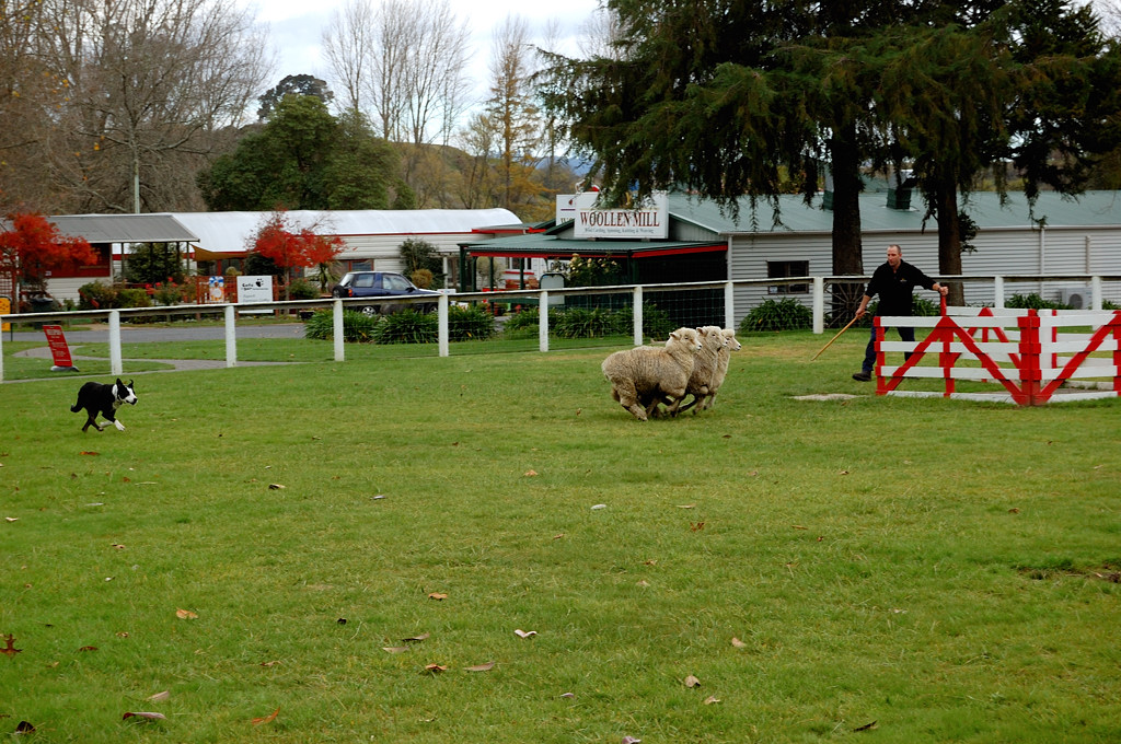 Сельскохозяйственное шоу Agrodome. Овчарка помогает пасти овец