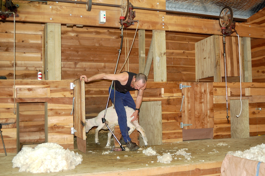 Сельскохозяйственное шоу Agrodome. Стрижка овец