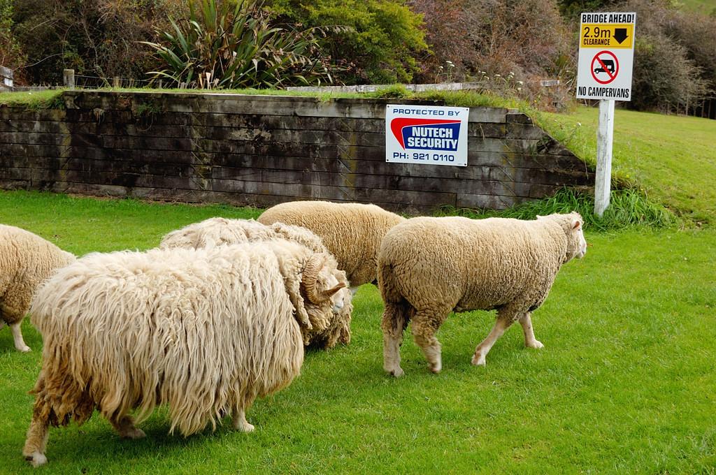 Сельскохозяйственное шоу Agrodome. Овечки. Хотя на переднем плане это скорее овцебык какой-то
