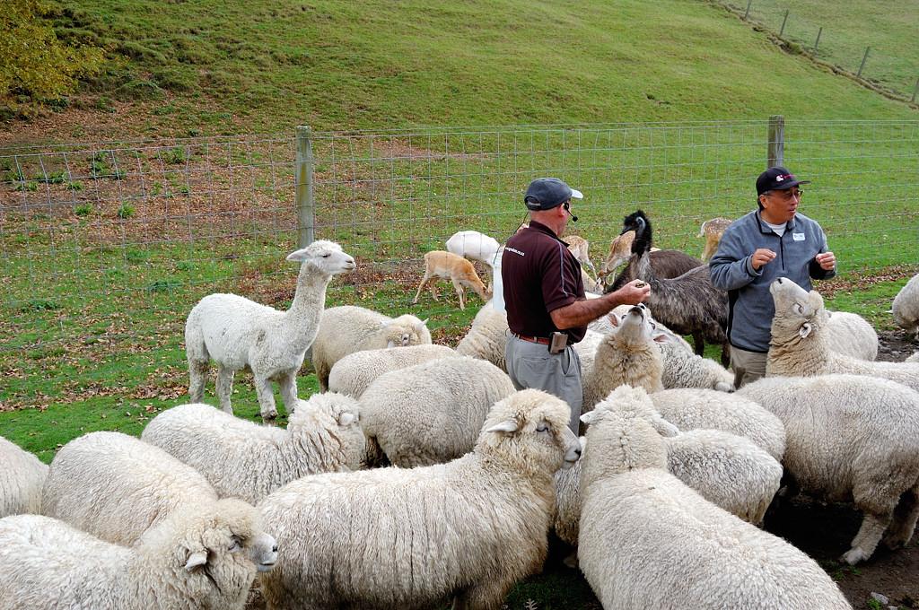 Сельскохозяйственное шоу Agrodome. Кормление животных - овечки, страусы, альпаки