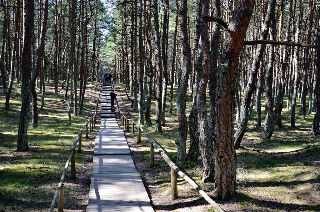Вокруг леса с причудливо извивающимися стволами сделана деревянная дорожка. Культурненько