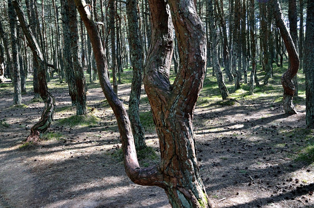 Лес танцет